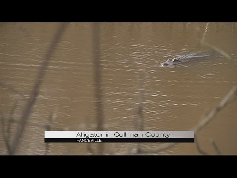 Alligator in Cullman County