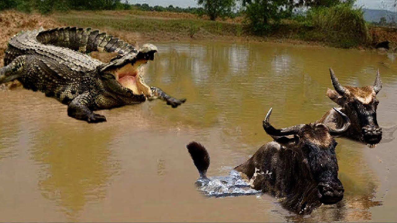 КРОКОДИЛ В ДЕЛЕ! Крокодил против зебры бегемота антилопы