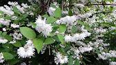 Рассада котовника фассена во время цветения очень напоминает лаванду, только она. Растения; семена; сад и огород; подарочные сертификаты.