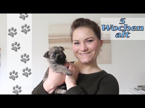 Gartenausflug | Einzelvorstellung | Hundekanal | Cairn Terrier