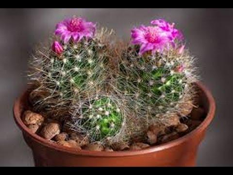 Como plantar cactos e suculentas youtube for Como plantar cactus