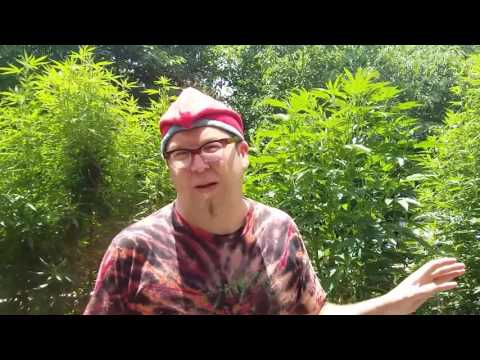 Scrogging with the Scroger:Adam's Legal DC Outdoor Grow