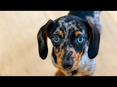 Sausage Dogs | Playful Cute & Funny Sausage Puppies Try Not To Laugh Videos Compilation | Dachshunds