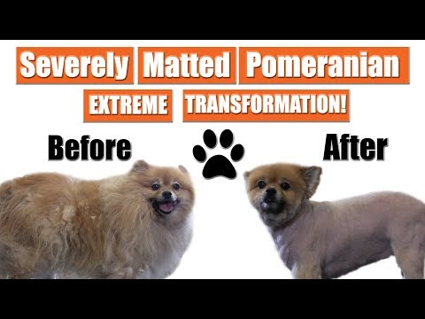 Severely Matted Pomeranian Shave Down