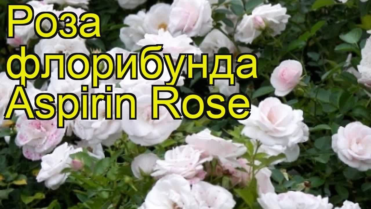 Роза аспирин роуз (шраб. Белая) россия в садовом центре «злата крона» в екатеринбурге по лучшим ценам.