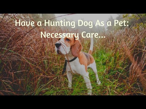 have-a-hunting-dog-as-a-pet:-necessary-care