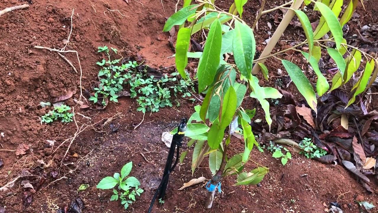 Hệ thống tưới nước tự động hiệu quả tưới nước cho cây sầu giêng