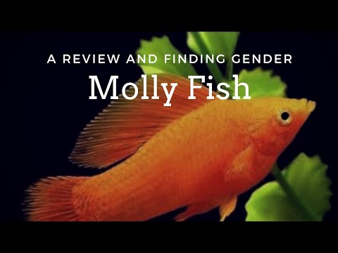 Let's know about the Ancient colour fish - Molly(Tamil)