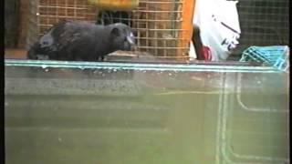 3 Monate alter Minkrüde fängt einen Karpfen aus dem Aquarium