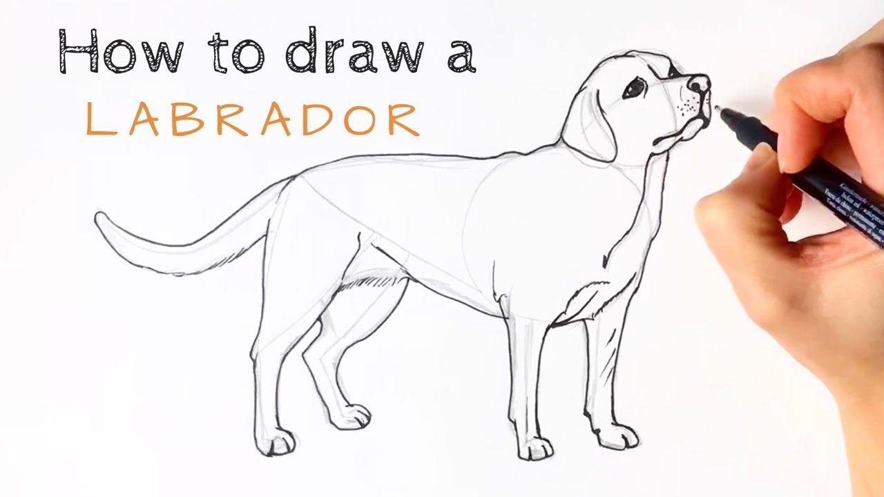 How To Draw A Labrador You