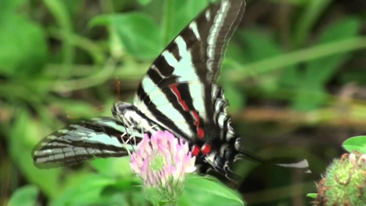 Tennessee State Butterfly | Zebra Swallowtail Butterfly