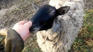 романовская овца выгул на пасдбище часть 1