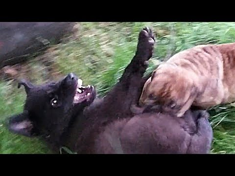 Puppy Fight!!! Lycan vs. Bulldogge