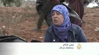 متضامنون يشاركون في موسم قطف الزيتون الفلسطيني