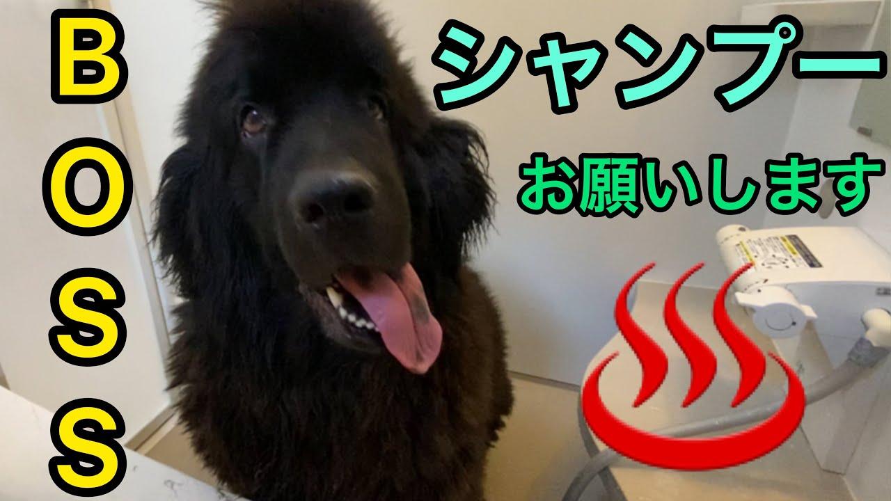 愛犬 シャンプー ✨ 超大型犬 ニューファンドランド ボス 君 パパとシャンプー 長毛 ダブルコート 大型犬 ブラッシング トリミング グルーミング