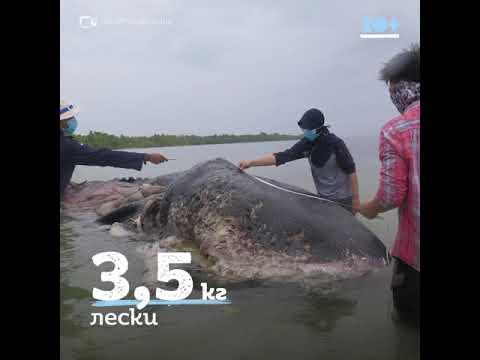 Килограммы пластика в желудке у кита