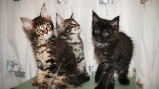 Котята породы мейн кун. 2 месяца