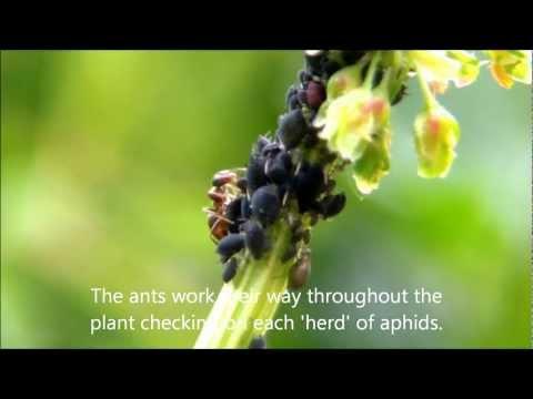 Ants Farming Aphids