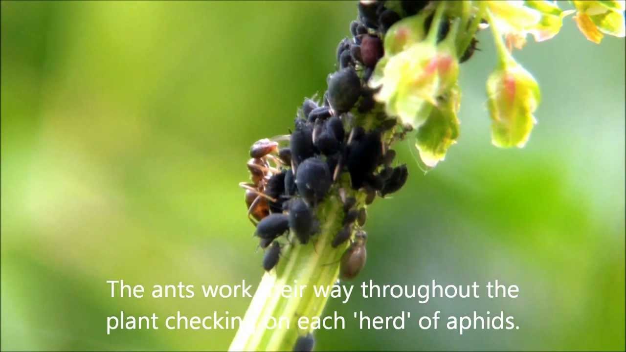 dairy ants and aphids relationship