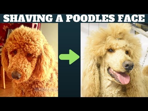 How to shave a Poodles face - Dog grooming tutorial - Standard Minature or Toy Poodle