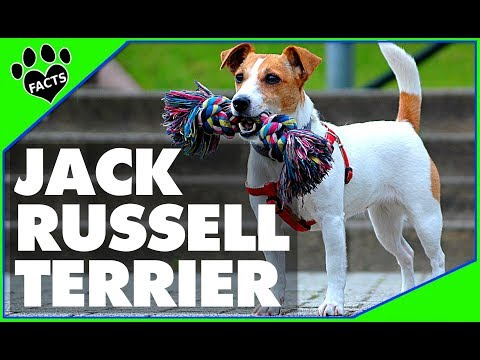 Dogs 101: Jack Russell Terrier Parson Russell Most Popular Dog Breeds - Animal Facts