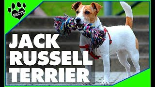 Jack Russell Terrier Dogs 101 Parson Russell Terrier