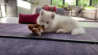 A Day In The Life of a Samoyed Puppy