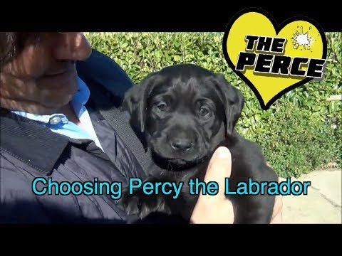 Choosing Labrador Puppy (Percy) at 7 weeks old