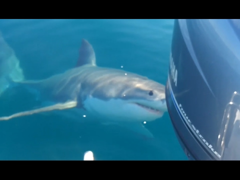 Aussie Fishermen Berate Great White Shark That Wanders Too Close to Boat