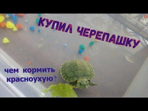 Купил красноухую черепаху. Черепаха съела дождевого червя. Чем кормить черепаху?