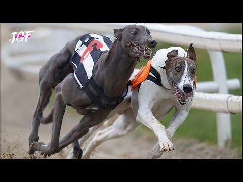 Dog race   Greyhounds  Track race