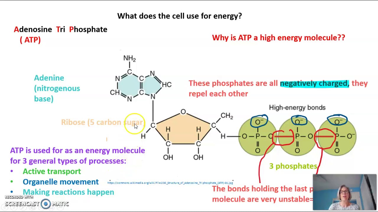 Atp  Phosphorylation  And The Atp Cycle