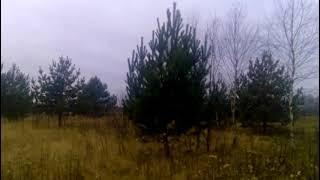 Саженцы сосны, берёзы, черноплодной рябины... Saplings of pine, birch, black chokeberry and other.