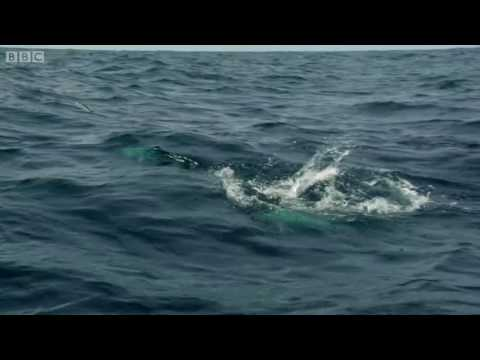 Pretty Incredible Video Of Flying Fish From Barbados Compliments BBC One