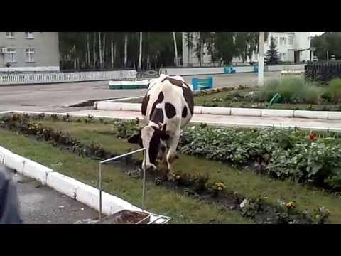 Корова жует цветочки