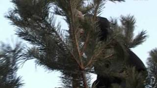 видео Купить искусственную елку в Чите