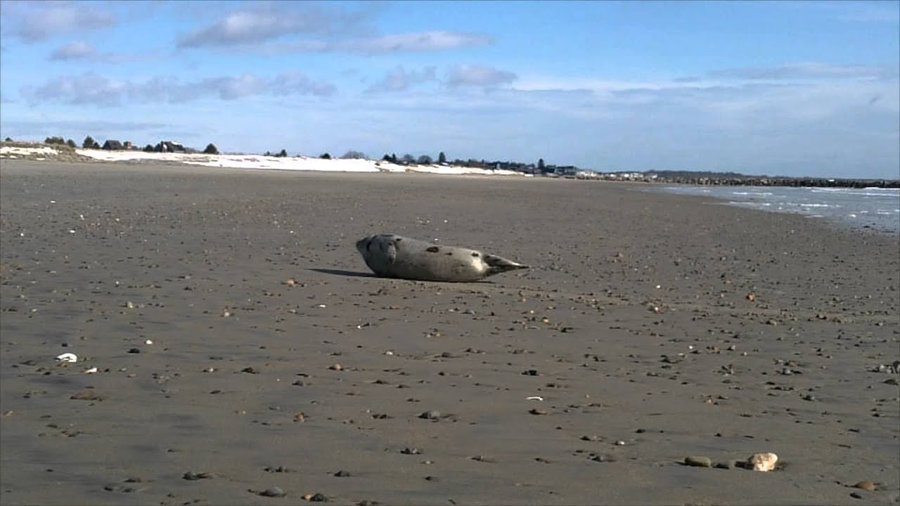 Seal On Wells Beach Maine