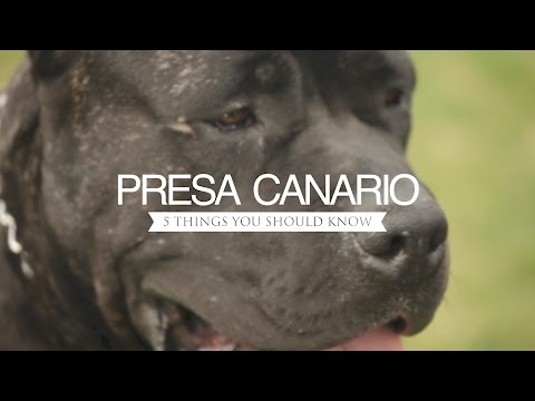 PRESA CANARIO FIVE THINGS YOU SHOULD KNOW