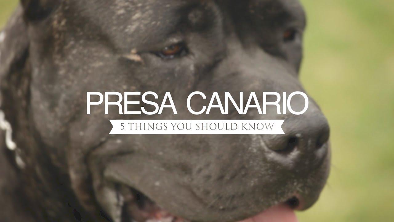Presa Canario Five Things You Should Know