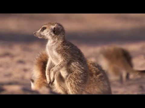 Meerkat Mother Exiles her Daughters for New Upcoming Babies | BBC Earth