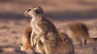 Meerkat Mother Exiles her Daughters for Her Unborn Babies | BBC Earth