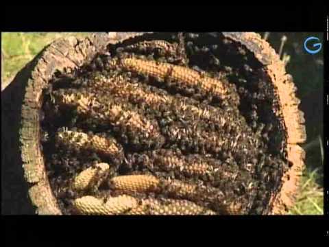 Cómo hacer el Trasiego de una Colmena a una Caja Tecnificada (Apicultura) - Juan Gonzalo Angel de YouTube · Duración:  5 minutos 42 segundos  · Más de 20.000 vistas · cargado el 07.04.2015 · cargado por TvAgro