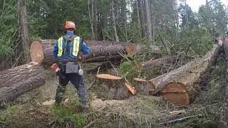 TREE FELLING, BUCKING, STAYING IN THE LAY