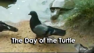 Ozzy Man Reviews: Turtle vs Pigeon