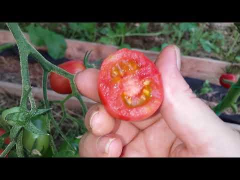 Обзор сортов томатов//Чио-чио сан и Черри ильди// 17 июля.