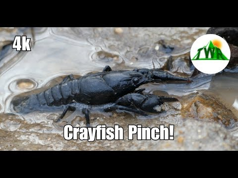 Learn About The American Crayfish! ~4k