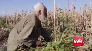 Mass Arrival Of 'Poppy Harvesters' In Balkh Sparks Concern
