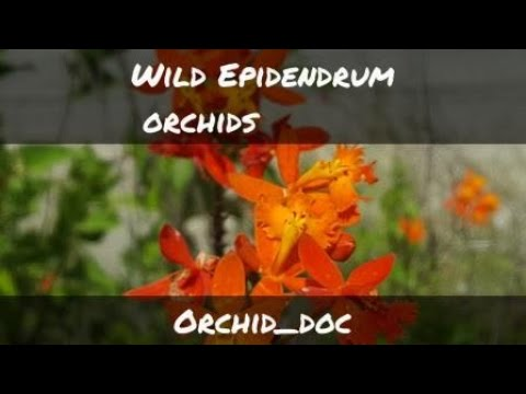 Epidendrum Orchids growing