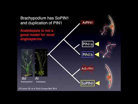 "Job Talk - General Audience ""Growing with the flow: Plant patterning through auxin transport"""