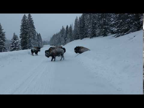 Bison crashing through the snow in Yellowstone